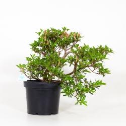 Rhododendron Indicum Senbazuru - Azalée - 42 cm