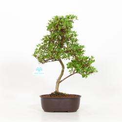 Rhododendron Indicum - Azalée - 35 cm
