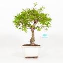 Punica granatum - Melograno - 29 cm