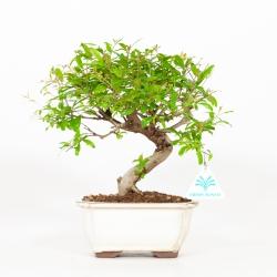 Punica granatum - Melograno - 27 cm