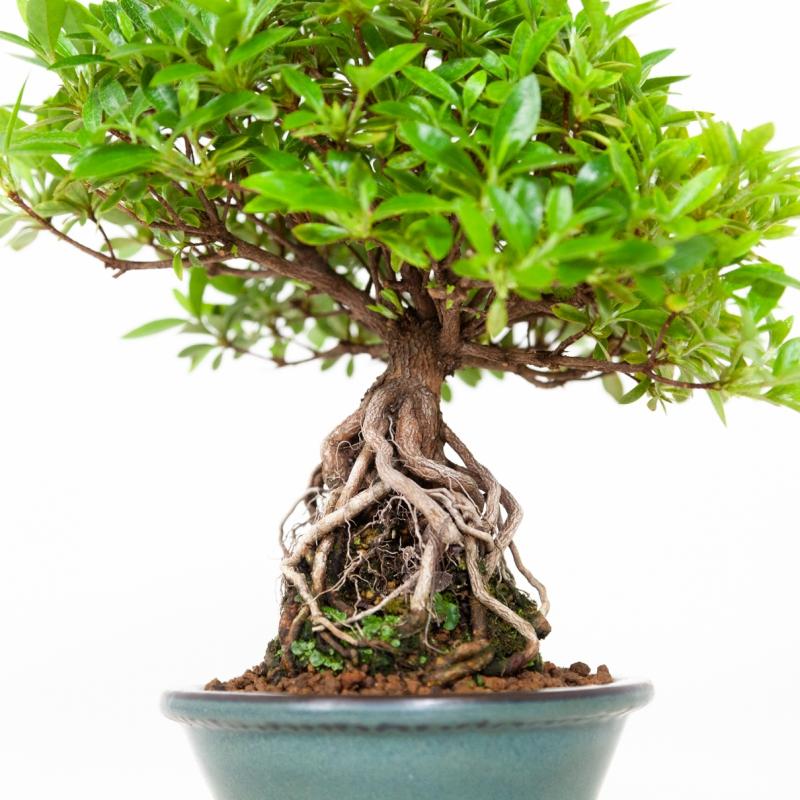 Rhododendron Indicum - Azalea - 25 cm
