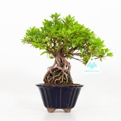 Rhododendron Indicum - Azalée - 25 cm
