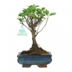 Ficus retusa - 26 cm