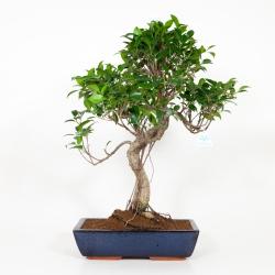 Ficus retusa - 64 cm