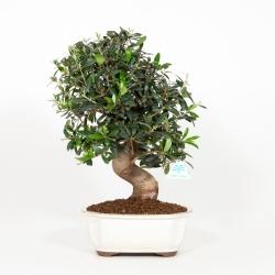 Olea europea - Olivier européen - 47 cm