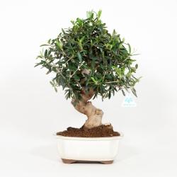 Olea europea - Olivo - 48 cm