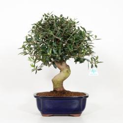 Olea europea - European olive - 50 cm