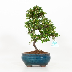 Cotoneaster sspp - Cotognastro - 32 cm