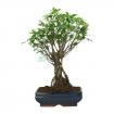 Ficus retusa - 51 cm