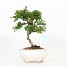 Cotoneaster sspp - Cotognastro - 29 cm
