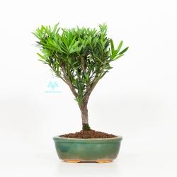 Podocarpus - 31 cm