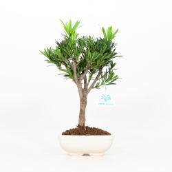 Podocarpus - 29 cm