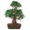 Ficus retusa - 76 cm