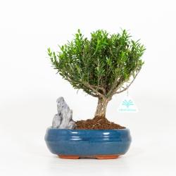 Buxus Hayrlandii - Bosso - 27 cm