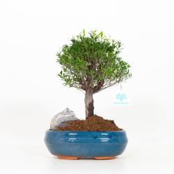 Syzygium - 28 cm