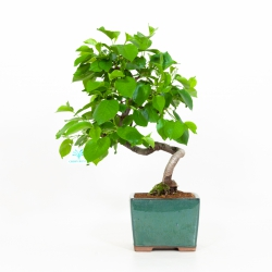 Prunus Mahaleb - Mahaleb cherry - 38 cm