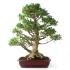 Ficus retusa - 79 cm