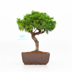 Juniperus chinensis - Ginepro - 25 cm