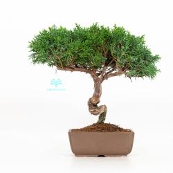 Juniperus chinensis - Juniper - 27 cm