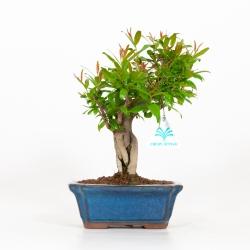 Punica granatum - Melograno - 26 cm