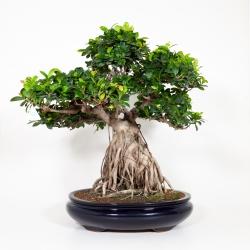 Ficus formosanum - 71 cm