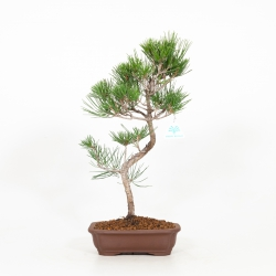 Pinus thunbergii - Pine - 46 cm