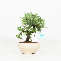 Osteomeles anthyllidifolia - 20 cm