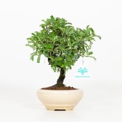 Osteomeles anthyllidifolia - 23 cm