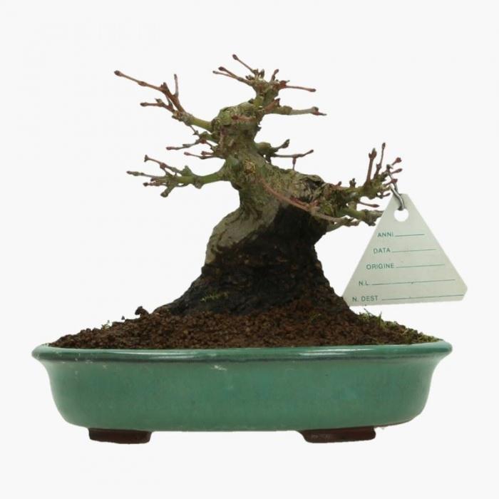Acer palmatum - acero - 17 cm
