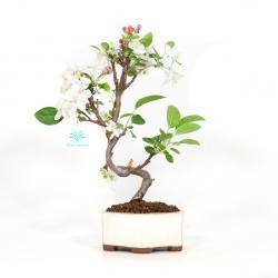 Malus evereste - Apple tree - 34 cm