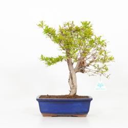 Punica granatum - Melograno - 36 cm