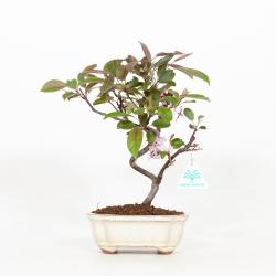 Malus domestica - Melo - 29 cm