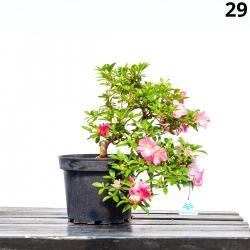 Azalea Santoka - 36 cm - KB29