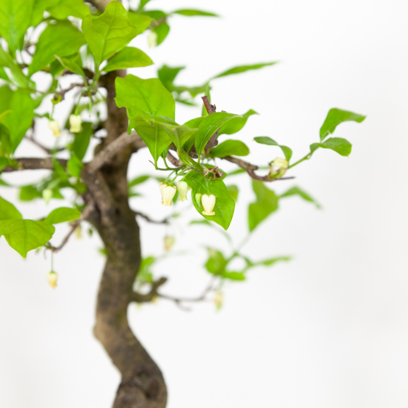 Diospyros kaki - Oriental persimmon - 46 cm