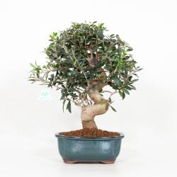 Olea europea - Olivo - 47 cm