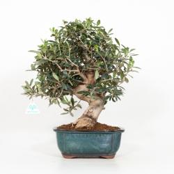 Olea europea - Olivier européen - 44 cm