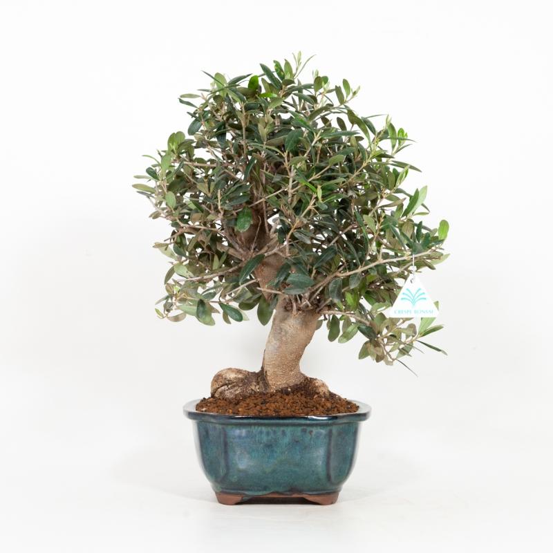 Olea europea - Olivo - 44 cm