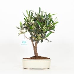 Olea europea - European olivier - 33 cm