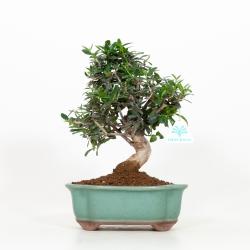 Olea europea - Olivo - 31 cm