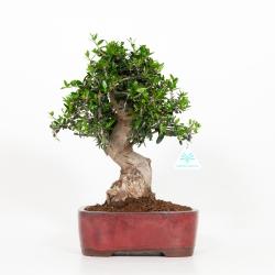 Olea europea - European olivier - 36 cm