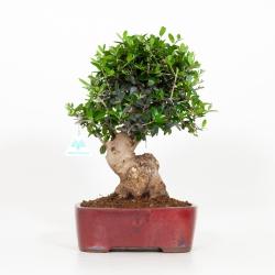 Olea europea - Olivo - 36 cm