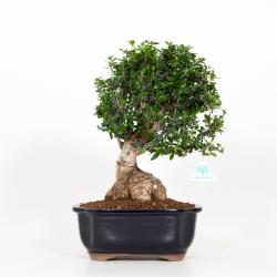 Olea europea - European olivier - 39 cm