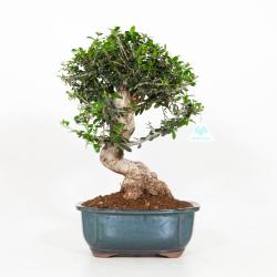 Olea europea - Olivo - 42 cm