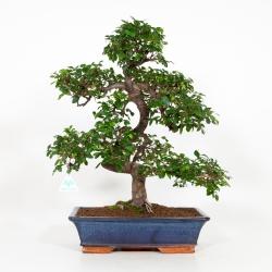 Zelkova nire - Olmo cinese - 58 cm