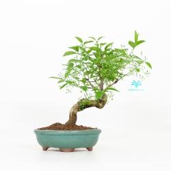 Euonymus hamiltonianus - Evonimo - 31 cm
