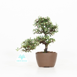 Cotoneaster Horizontalis - 19 cm