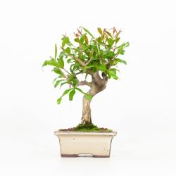 Punica granatum - Melograno - 21 cm