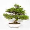 Azalée Nikko - 70 cm