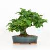 Pourthiaea villosa - 23 cm