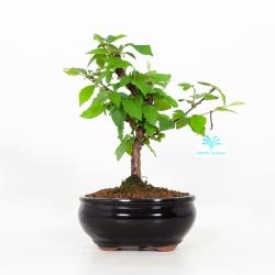 Prunus tomentosa - Ciliegio di Nanchino - 27 cm